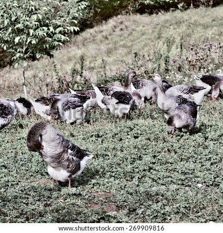 Geese Grazing on a Hillside in France, Retro Image Filtered Style - stock photo