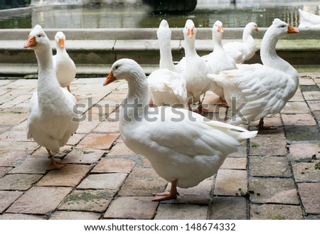 Geese in Cathedral of Saint Eulalia in Barcelona, Spain - stock photo