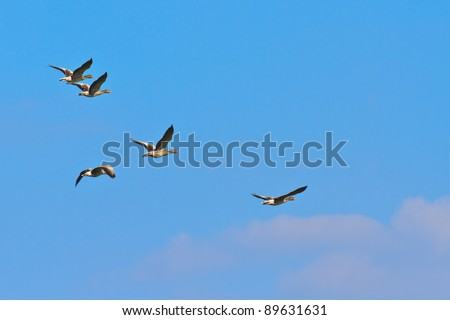 Geese migrating south against blue sky - stock photo