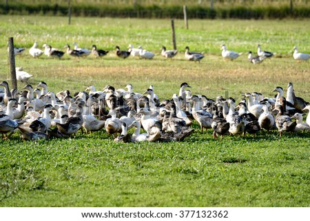 Geese raised for goose liver pate on farm, Dordogne (France)