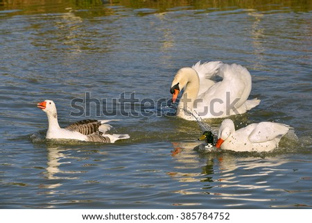 Geese, swan and duck chasing each on water - stock photo