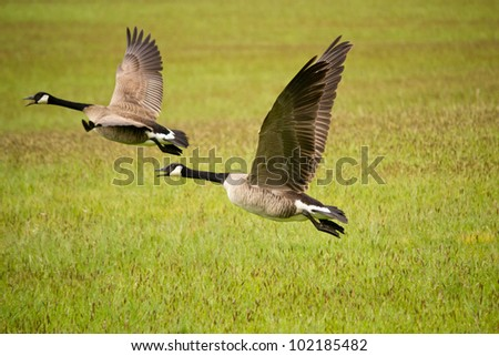 Geese taking off from grass field - stock photo