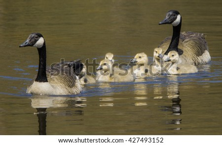 Geese with goslings. - stock photo