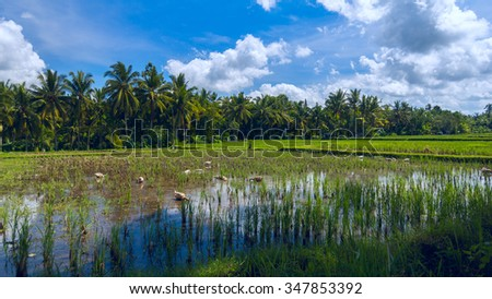 Geeses are on the rice field - stock photo