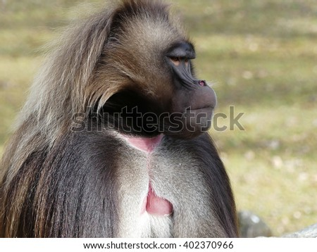gelada male - stock photo