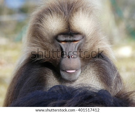 gelada monkey portrait, - stock photo