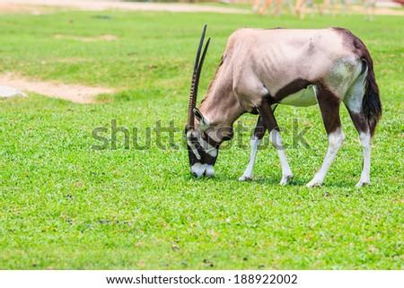 Gemsbok antelope (Oryx gazella) - stock photo
