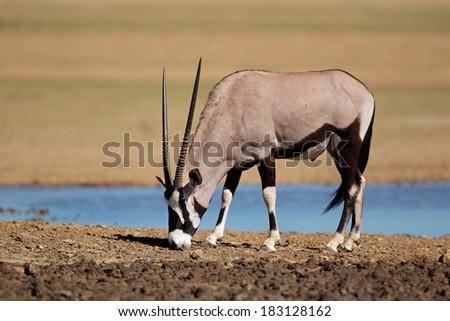 Gemsbok antelope (Oryx gazella) at a waterhole, Kalahari desert, South Africa - stock photo