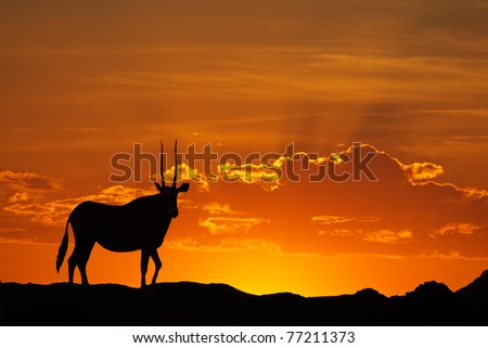 Gemsbok antelope (Oryx gazella) silhouetted against a red sky, Kalahari desert, South Africa - stock photo
