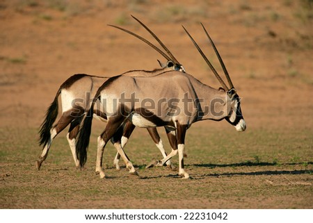 Gemsbok antelopes (Oryx gazella), Kalahari desert, South Africa