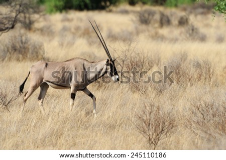 Gemsbok in the National Reserve of Africa, Kenya - stock photo