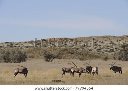 gemsbok or gemsbuck (oryx gazella) in the kalahari (kgalagadi trans-frontier park, south africa - stock photo