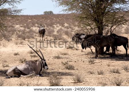 Gemsbok, Oryx gazella and Gnu in african bush, Kgalagadi Transfrontier Park, Namibia, true wildlife - stock photo