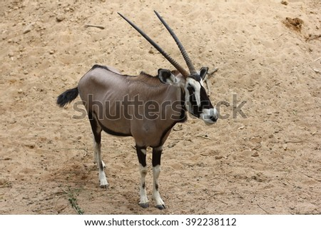 Gemsbok ( Oryx gazella) on dusty desert plains at sunset. - stock photo