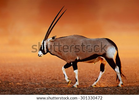 Gemsbok  ( Oryx gazella) on dusty desert plains at sunset.  Kalahari -  South Africa - stock photo