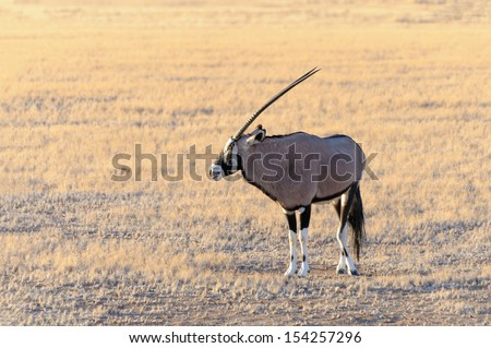 Gemsbok (Oryx) in Namib-Naukluft National Park in namibia - The gemsbok is a large antelope in the Oryx genus. It is native to the arid regions of Southern Africa, such as the Kalahari Desert.  - stock photo