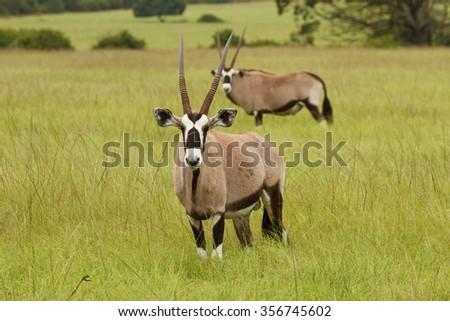 Gemsbok standing in grassland looking straight to camera with de-focus Gemsbok in distance behind - stock photo