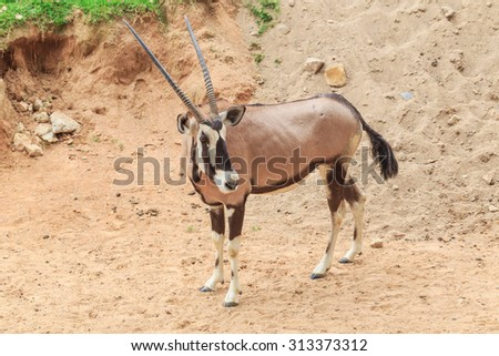 gemsbok standing in nature background