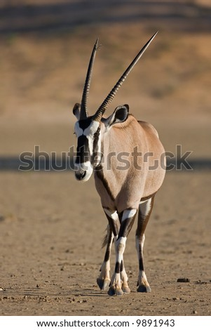 Gemsbok walking in dry riverbed; oryx gazella; South Africa