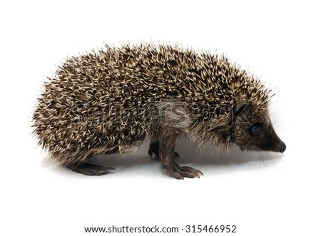 General view of the Eurasian animal - hedgehog on a white background, side view
