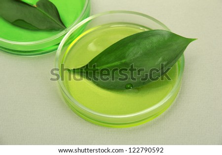 Genetically modified leaves tested in petri dishes, on grey background - stock photo