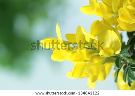Genista of the herb - stock photo