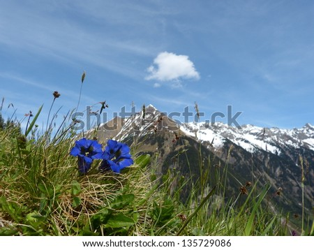 Gentian in the Alps - stock photo