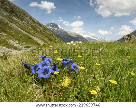 gentian on the mountain meadow - stock photo