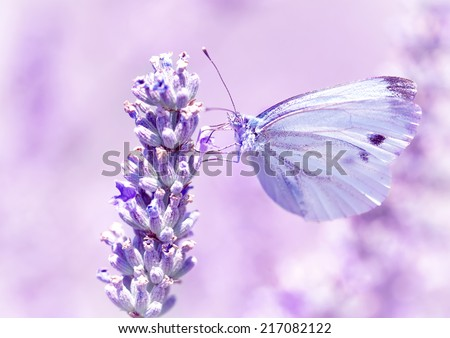 Gentle butterfly with light purple wings sitting on lavender flower, detail of flora and fauna, amazing wild nature concept - stock photo
