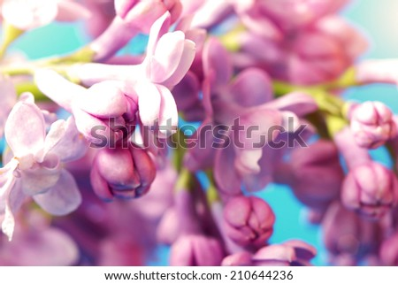 gentle lilac flowers on a blue background  - stock photo