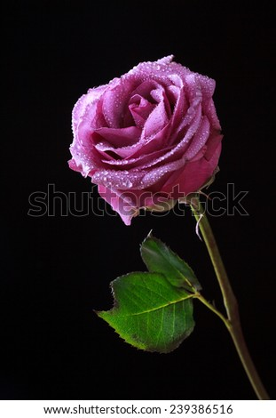 gentle pink rose flower with water drops on a dark background, selective focus and space for text  - stock photo