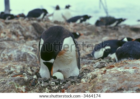 Gentoo penguin adds stone to its nest. - stock photo