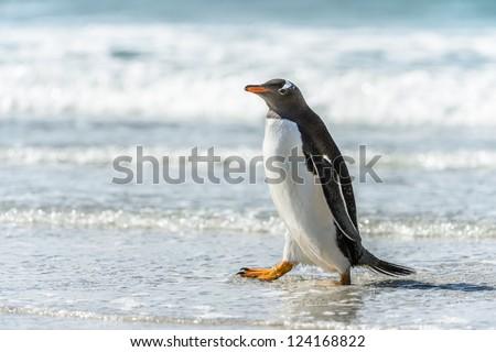 Gentoo penguin and a wave.  Falkland Islands, South Atlantic Ocean, British Overseas Territory - stock photo