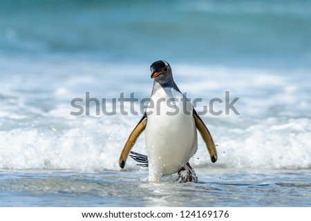 Gentoo penguin and a wave.  Falkland Islands, South Atlantic Ocean, British Overseas Territory - stock photo