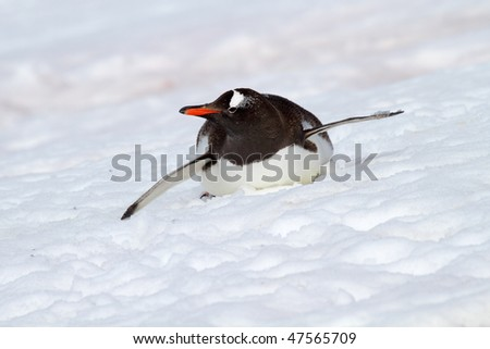 Gentoo penguin bobsleighing down snowy slope, Antarctica - stock photo