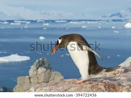 Gentoo penguin building his nest from small stones, snowy mountains in background, Antarctic Peninsula - stock photo