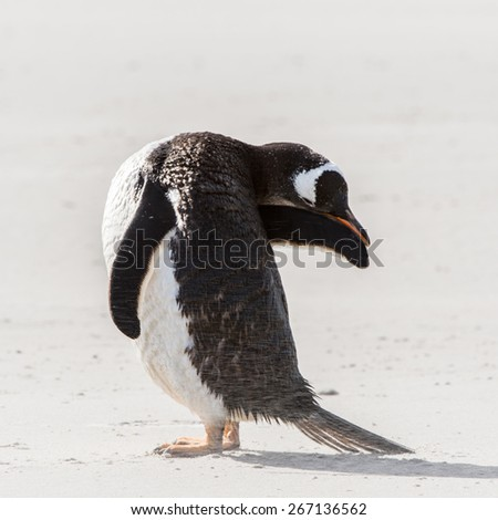 Gentoo penguin cleans its feathers in Antarctica