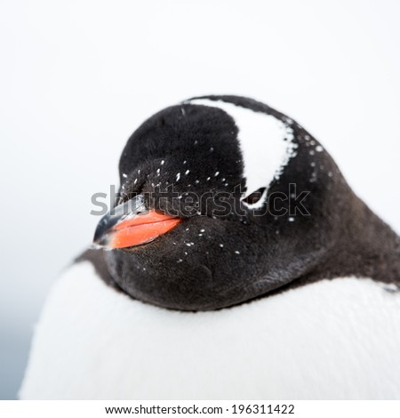 Gentoo Penguin close up (Pygoscelis papua) in Antarctica - stock photo