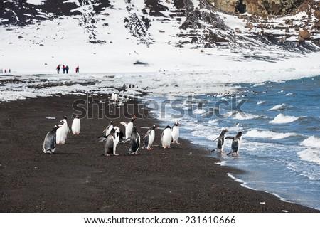 Gentoo penguin, Deception Island, Antarctica - stock photo