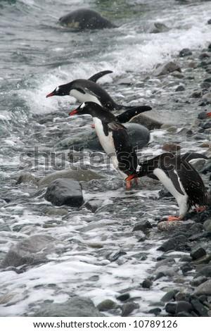 Gentoo penguin, diving into Southern Ocean, light snow storm,[Pygoscelis papua]Cuverville Island,Antarctica - stock photo