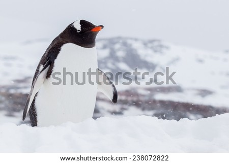 Gentoo penguin in snowstorm in Antarctica - stock photo