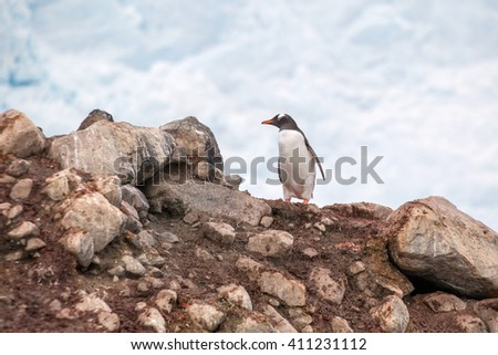 Gentoo penguin on a rock against cloud sky in Antarctica - stock photo