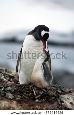Gentoo penguin parent facing forward, with its chick in front of it, touching beaks - stock photo
