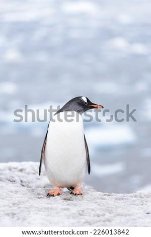 Gentoo penguin portrait in Antarctica - stock photo