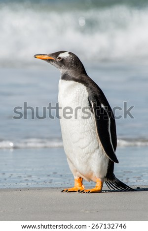 Gentoo penguin portrait in Antarctica