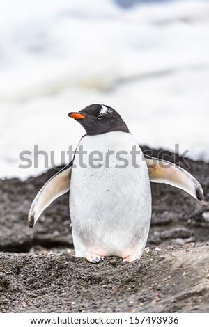 Gentoo penguin (Pygoscelis papua) - stock photo
