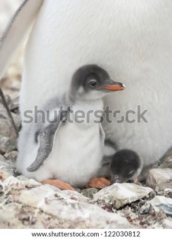 Gentoo penguin (Pygoscelis papua) chicks in the nest. - stock photo