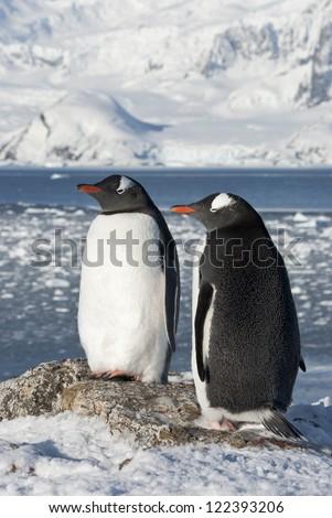 Gentoo penguin (Pygoscelis papua) couple on the background of the glaciers. - stock photo