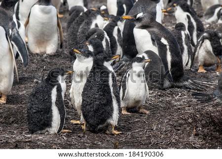 Gentoo Penguin - Pygoscelis papua - Falkland Islands - After rain / Gentoo Penguins chicks after rain - stock photo