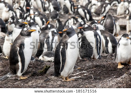 Gentoo Penguin - Pygoscelis papua - Gentoo Penguin Colony - Falkland Islands / Falkland Islands - Gentoo Penguin - stock photo